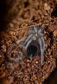 Do Tarantulas Molt Upside Down by Spider Things Biological Page 6