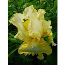 yellow bearded iris bearded iris bulbs for sale terra ceia farms