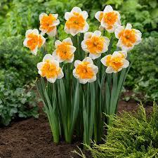 daffodil bulbs butterfly orangery