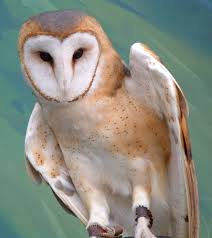 Barn Owl By Ryark On DeviantArt Barn Owl Facts About Owls The Rspb Bto Bird Ring Demog Blog October 2014 Chouette Effraie Lechuza Bonita Sbastien Peguillou Owl Free Image Peakpx Wikipedia Barn One Wallpaper Online Galapagos Quasarex Expeditions Hungry Project Home Facebook Free Images Nature White Night Animal Wildlife Wild Hearing Phomenal Of Nocturnal Wildlife Animal Images Imaiges