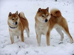 Do Shibas Shed A Lot by Cold Weather Dog Breeds What To Know