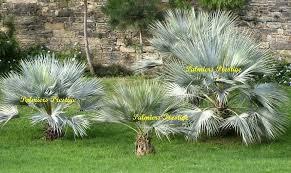 prix des palmiers exterieur palmiers prestige vente de palmiers et cocotiers d extérieurs