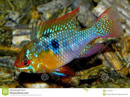 poisson eau douce aquarium tropical poissons d aquarium d amérique du sud ramirezi d eau douce de