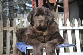 Do Newfoundlands Shed Hair by To Groom Or Not To Groom Is Not The Question Mybrownnewfies Com