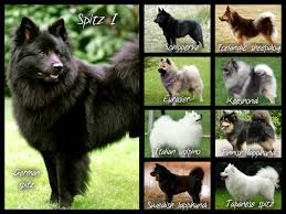 Dogs That Dont Shed Keeshond by Click Visit Site And Check Out Best