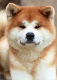345 best akita and shiba dogs images on pinterest akita dogs