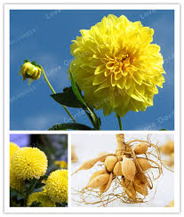 sale 2 bulb yellow dahlia bulbs beautiful perennial dahlia