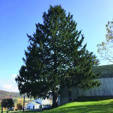 Christmas Tree Shop Erie Pa by Buckhorn Tree To Spruce Up Rockefeller Center News Dailyitem Com