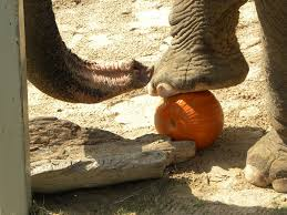 Largest Pumpkin Ever Grown 2015 by Study Reveals Ancient Link Between Mammoth Dung And Pumpkin Pie