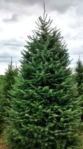 Silvertip Fir Christmas Tree by Wholesale Cut Christmas Trees Hartikka Tree Farms