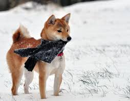 do shiba inus shed hair shedding of shiba inus animalwised