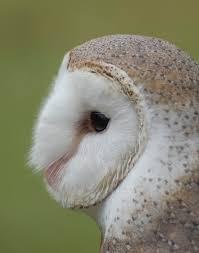 Fluffy Face - Barn Owl Profile