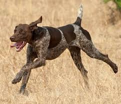 german shorthaired pointer shed wasecacompanionanimal licensed for non commercial use only