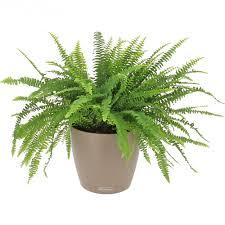 plante de bureau livraison fougère dépolluante la plante bac lechuza gris
