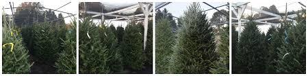 Balsam Christmas Trees Real by Christmas Trees Randy U0027s Perennials U0026 Water Gardens