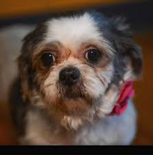 Small Non Shedding Dogs For Seniors by Available Dogs Little White Dog Rescue