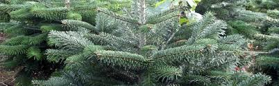 10ft Christmas Tree Canada by Real Christmas Trees From The Billingley Christmas Tree Farm