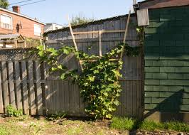 One Canadian Home: How To Build A Wooden Trellis Backyards Splendid Simple Arched Trellis For Grapes Or Pole Backyard Hop Outdoor Decorations Pictures On Excellent Wondrous Arbor Ideas 41 Grape Vine How To Build Grapevine Trellis Bountiful Pergola My Kiwi That I Built From Diy Itructions Things How Build A Raspberry Youtube Grape Vine Roselawnlutheran Stunning Vines Design Over Spaces Noteworthy