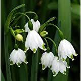 snowdrops flowers plants seeds bulbs patio
