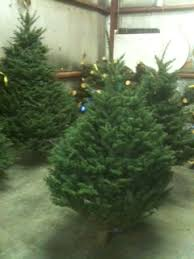 Cad Re Trees Are Noble Firs Because Of Their Beauty And Long Lasting Freshness