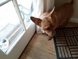 Shed Free Lap Dogs by Chigi Corgi Chihuahua Mix Facts Temperament Training Puppies