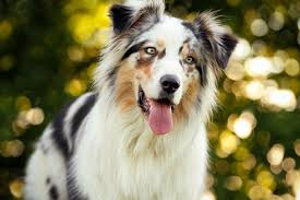 Small Non Shedding Dogs Australia by The Top 10 Smartest Dog Breeds