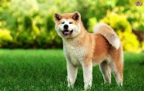 Do Akita Dogs Shed Hair by Japanese Akita Inu Dog Breed Information Buying Advice Photos