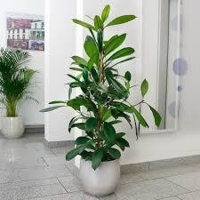 afrikanischer feigenbaum im ca 21 cm topf