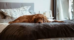 hunde im bett ratgeber tipps infos zur abgewöhnung