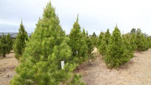 Big Green Christmas Trees In A Dry Paddock
