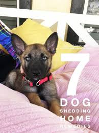 List Of Dogs That Shed Hair by Best 25 Dog Shedding Remedies Ideas On Pinterest Dog Shedding