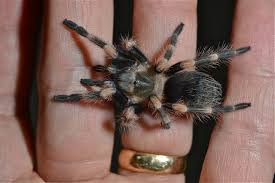 Do Tarantulas Molt Upside Down spider things biological page 6