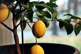 the about an indoor lemon tree hint it belongs outdoors