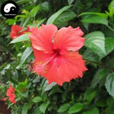 buy china hibiscus tree seeds 60pcs plant mallow