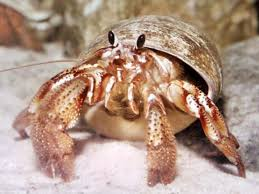 Do Hermit Crabs Shed Legs by Hermit In Crab Hermit Crab Knowledge