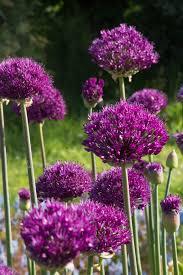 allium hollandicum purple sensation avon bulbs