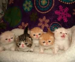 shorthair cat price best 25 white kittens for ideas on baby cats for