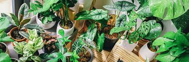 ungiftige zimmerpflanzen kaufen sense of home