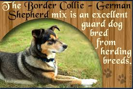 Do Blue Heeler Border Collies Shed by Characteristics Of The Australian Shepherd Border Collie Mix
