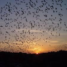 Carlsbad Nm Pumpkin Patch by Endangered Bats Not At Carlsbad Caverns