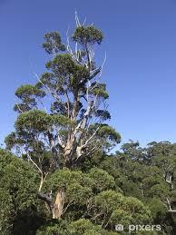 fototapete riesen eukalyptus baum