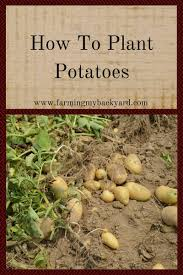 How To Plant Potatoes - Farming My Backyard Texas Garden The Fervent Gardener How Many Potatoes Per Plant Having A Good Harvest Dec 2017 To Grow Your Own Backyard 17 Best Images About Big Green Egg On Pinterest Pork Grilled Red Party Tuned Up Want Organic In Just 35 Vegan Mashed Potatoes Triple Mash Mashed Pumpkin Cinnamon Bacon Sweet Gardening Seminole Pumpkins And Sweet From My Backyard Potato Salad Recipe Taste Of Home