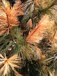 Christmas Tree Saplings Ireland by Are Your Evergreens Looking Yellow Or Brown This Might Be Why