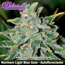Northern Light Blue Auto – Delicious Seeds – Automática