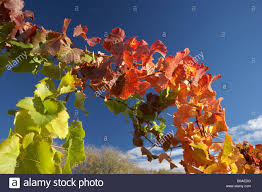 100 Domain Road Autumn Vine Leaves Vineyard Bannockburn Central Otago