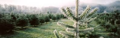 Nordmann Fir Christmas Tree Seedlings by Tree Descriptions And Pricing