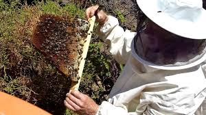 Topbar Com Les Crowder 5/8 - YouTube Top Bar Hive Honey Harvest By Jon Peters Youtube Bees In Ca Bkeeping With Les Crowder How To Straighten Top Bar Combs Queen Victoria Sept 18 Nuc Install Equipment Decisions Kenyan Part 1 Browns Dtown April 2013 Natural Topbar Bkeeping Lesson Learning From The Master Hives Swarm After 6 Weeks Lindas June 2012 Beehive Update May 2015