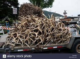 Truck Loaded With Shed Elk Antlers For Building Park's Arches Stock ... Photos Opening Day Of Wyomings Shed Hunting Season Outdoor Life Holiday Lighted Car Antlers Pep Boys Youtube Wip Beta Released Beamng Antlers The Cairngorm Reindeer Herd Dump Truck Full Image Photo Bigstock Atoka Ok Official Website Meg With Flowers By Myrtle Bracken Vw Kombi Worlds Best And Truck Flickr Hive Mind Amazoncom Bluegrass Decals Show Me Your Rack Deer May 2009 Bari Patch My Antler Base Shift Knob Elk Pinterest Cars Buck You Vinyl Window Decal Nature Woods Redneck
