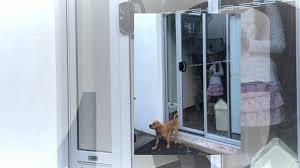 Doggie Door Insert For Patio Door by Puppy Using Patio Link Pet Door Insert For A Very First Time Youtube