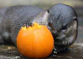 Spirit Halloween Sarasota by Florida Aquarium Otters Get Into Halloween Spirit Tbo Com